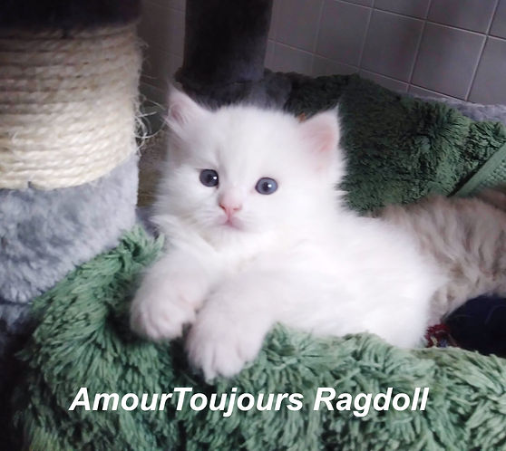 All white Ragdoll kitten AmourToujours.j