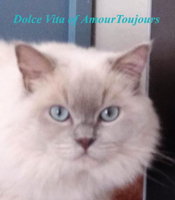 Dolce Vita of AmourToujours Ragdolls.com