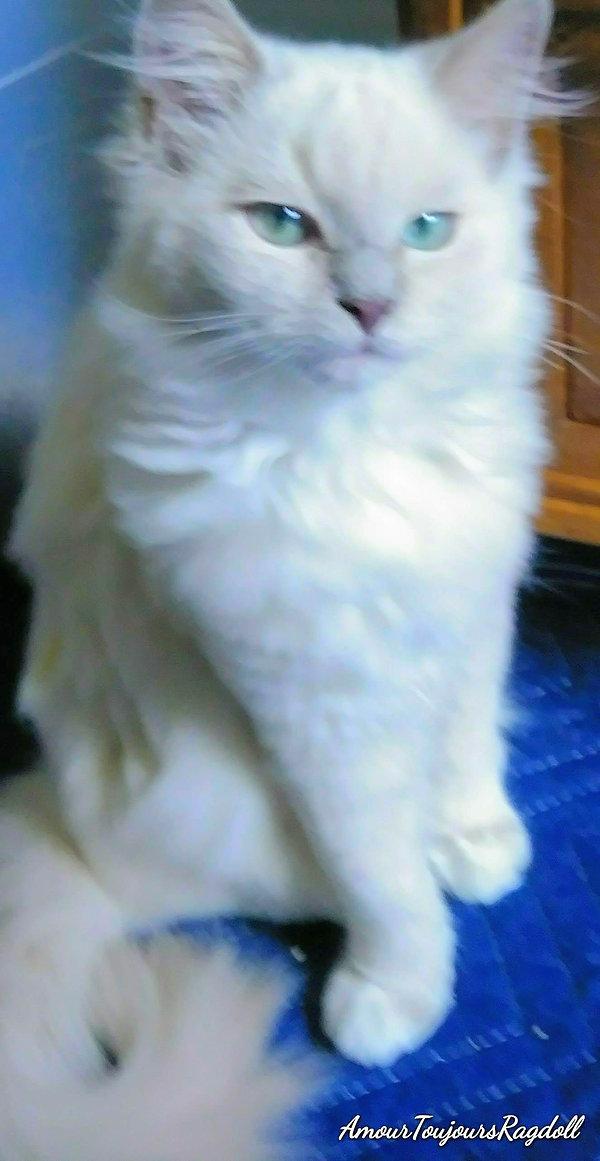 Lilac Mink Mitted Ragdoll .jpg