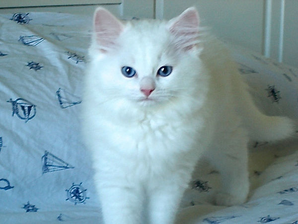 AmourToujoursRagdolls Pure White Blue eyes