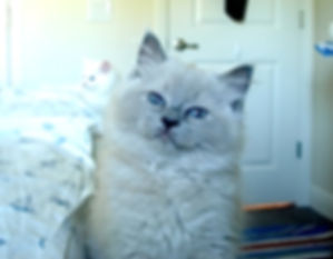 Peppermint Blue Mink Ragdoll girl.JPG