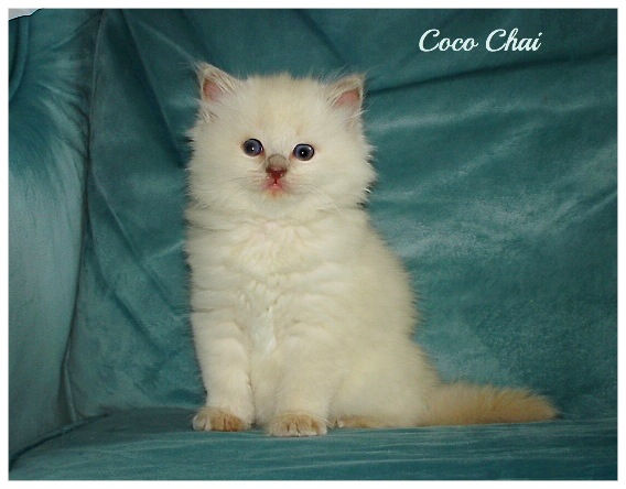 Lilac MINK Ragdoll of AmourToujours in Florida
