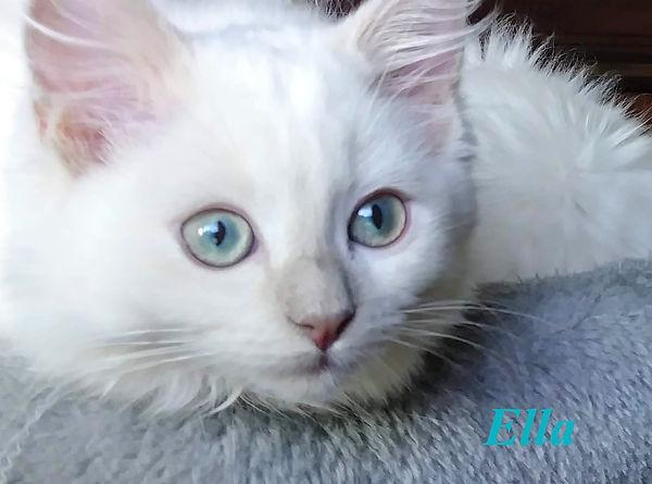 Lilac Mink AmourToujours Ragdolls.jpg