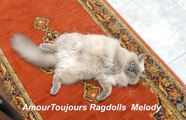 Melody of AmourToujours Ragdolls_edited.