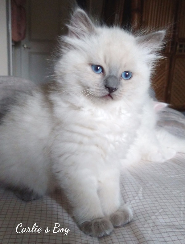 AmourToujours Blue Point Ragdoll