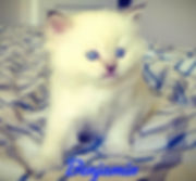 Chocolate lynx Mitted Traditional AmourT