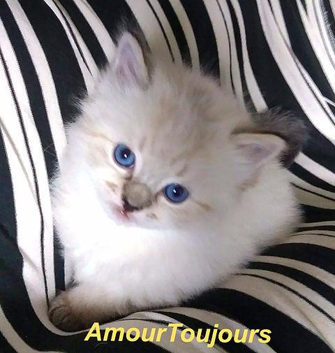 AmourToujoursRagdolls Seal Lynx_edited.j