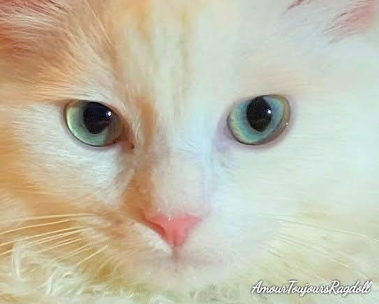 White Mink Aqua eyes Ragdoll.jpg