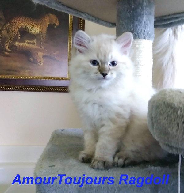 AmourToujoursRagdolls Seal Lynx Ragdoll