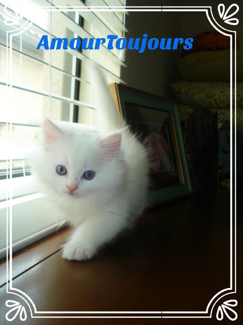 Blue eyed White Ragdoll TICA