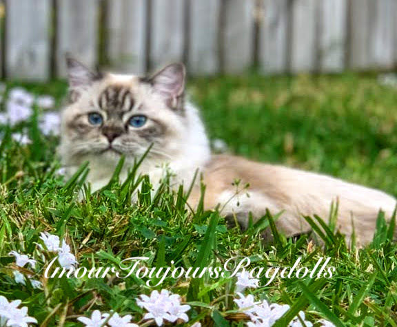 seal Lynx Sapphire eyes Ragdoll .jpg