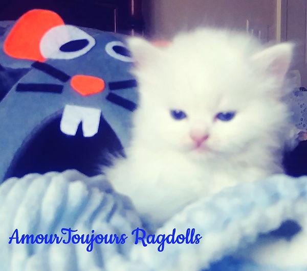 BEW Ragdoll of AmourToujours .jpg