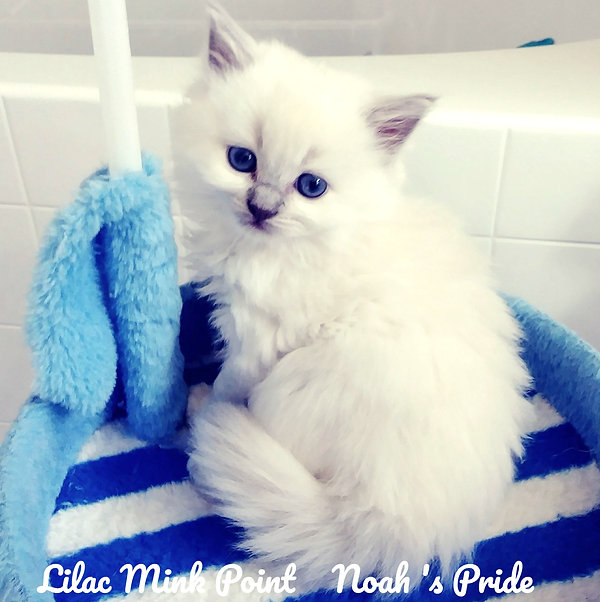 Lilac Mink of Amourtoujours Ragdoll Bree