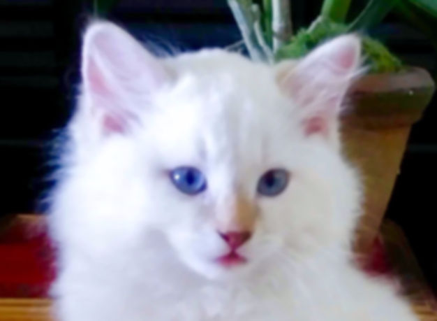 Diamond The Cinnamon Lynx Ragdoll _edite
