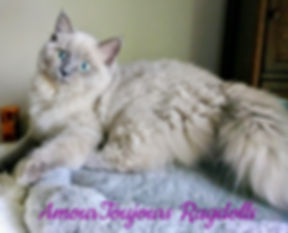 Blue Mink Ragdoll of AmourToujours .jpg