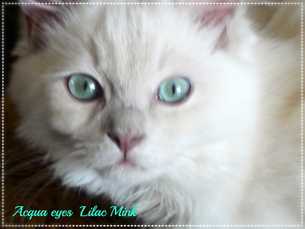 Mink Ragdoll Acqua eyes AmourToujoursRagdolls in Florida
