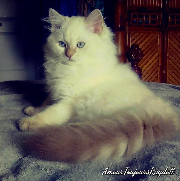 Chocolate Lynx Blue Eyes Ragdoll of Amou