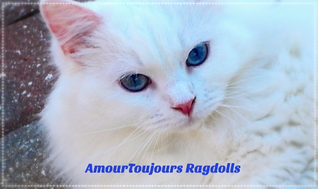 AmourToujours SNOW  Blue eyed White Ragdoll_edited