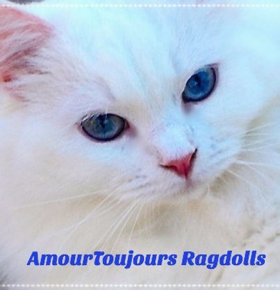 Blue eyes White Ragdoll kitten for sale