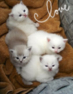 All colors Ragdolls White , Lilac , Blue , Mink and traditionnal kittens for sale @ AmourToujours ragdolls.com