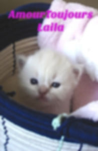 Mink Ragdoll kitten for sale AmourToujours Ragdolls