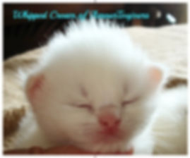 White Blue eyed Ragdoll of AmoursToujours Florida