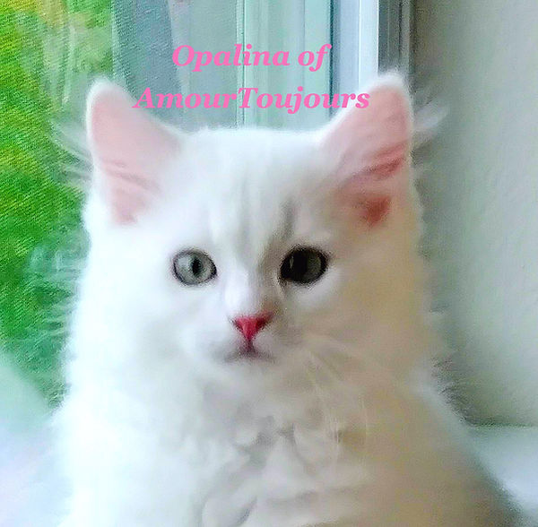 Opalina White Ragdoll kitten_edited.jpg