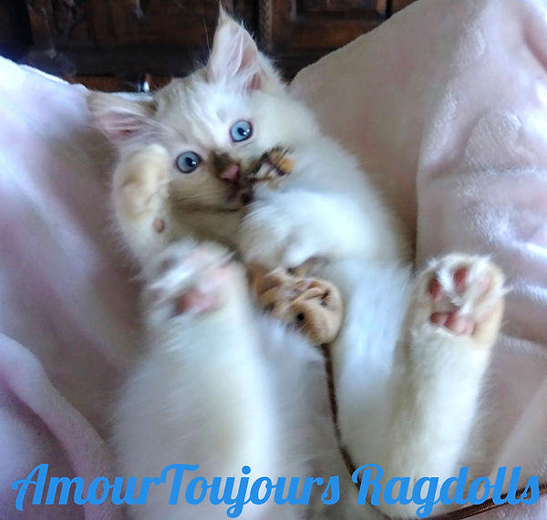 Fawn Point Traditional Ragdoll of AmourT