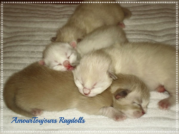 AmourToujours Ragdolls TICA