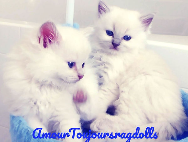 Amour Toujours Ragdoll Breeder   Lilac R