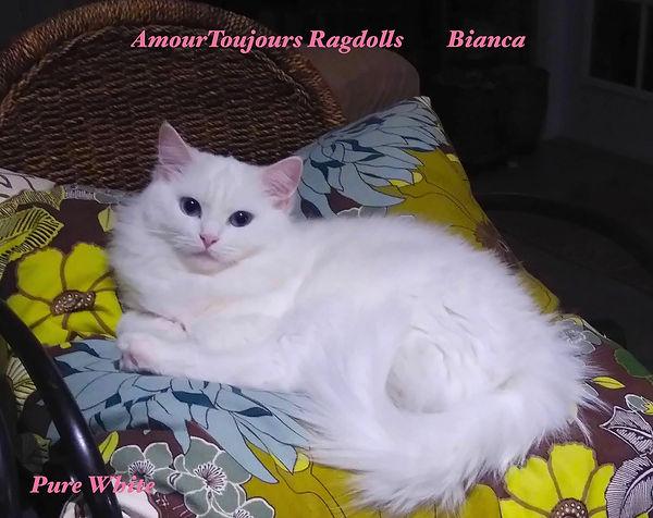 Bianca pure white Ragdoll .jpeg