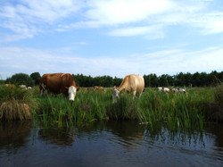 koeien.jpg