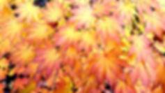 LSFG Boxley Japanese Maple 10.19.jpg