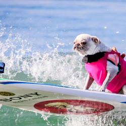 2015 HB Surf City Surf Dog