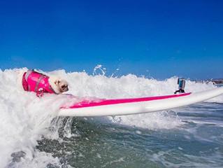 Surf Gidget The Pug.......