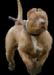 xl pitbull breeder