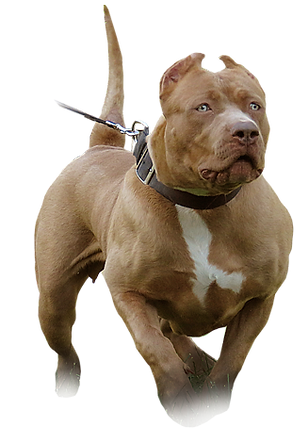 xl pitbull breeder