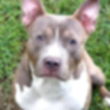xl pitbull puppies or sale