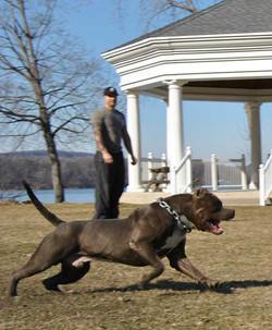 tank the pitbull
