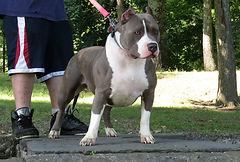 XL pitbull Maya
