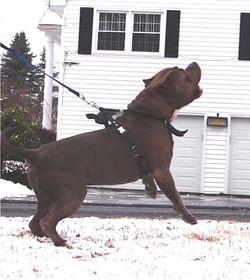 tank huge pitbull