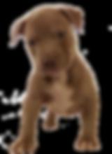 XL pit bull puppies