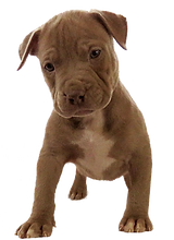 XL pit bull puppies