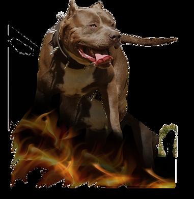 xl bully pitbull