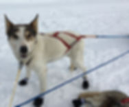 sled dog mushing