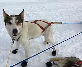 sled dog mushing