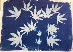 cyanotype acer leaves