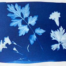 cyanotype 28 leaves.jpg