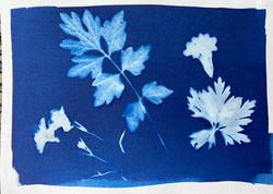 cyanotype 28 leaves