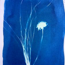 cyanotype dandelion.jpg